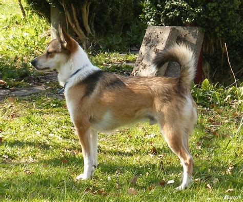 Norwegian Lundehund Breed Guide - Learn about the