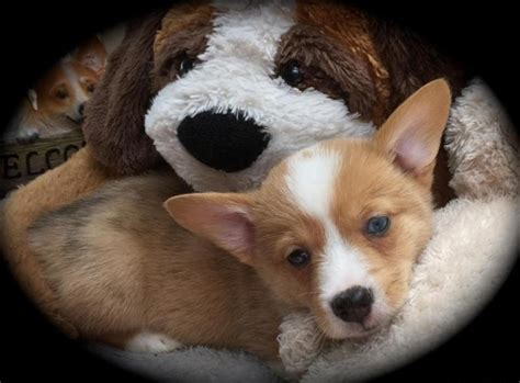 Pembroke Welsh Corgi puppy (Red Merle) for Sale in Miami