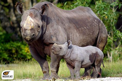 New population of rhino might have been discovered