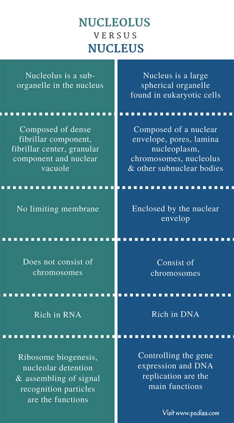 Difference Between Nucleolus and Nucleus – Pediaa