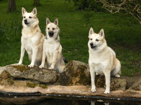 Norwegian Buhund Breed Guide - Learn about the Norwegian