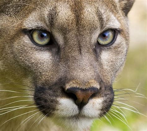 15 Reasons Why Mountain Lions Are Awesome [Gallery]   Cult