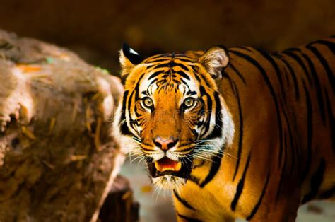 Scary Tiger in the woods stock image