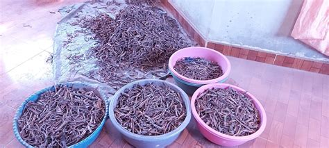 MHRB Dried And Stored In Buckets | MHRB For Sale